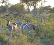 Aufregende Safaris im Little Vumbura Camp im Okavango Delta. Mehr Informationen unter www.wiraufreise.de