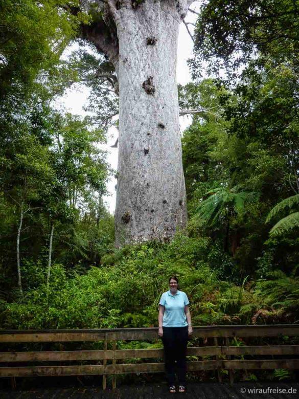 riesiger kauri baum mitten im Wald, frau steht davor - neuseeland kauri wald