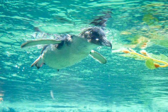 Pinguin imvon unten International Antarctic Center in Christchurch