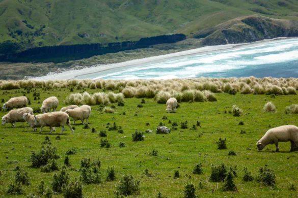 Grasende Schafe mit herrlicher Landschaft und Ausblick im Hintergrund