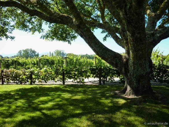 Grüner Garten mit Weinreben, Weingut Neudorf in upper moutere bei nelson, südinsel neuseeland