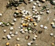 Herzmuscheln, Venusmuscheln im Sand am Strand von Blonvill-sur-mer