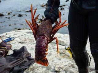 Crayfish gefangen in Kaikoura