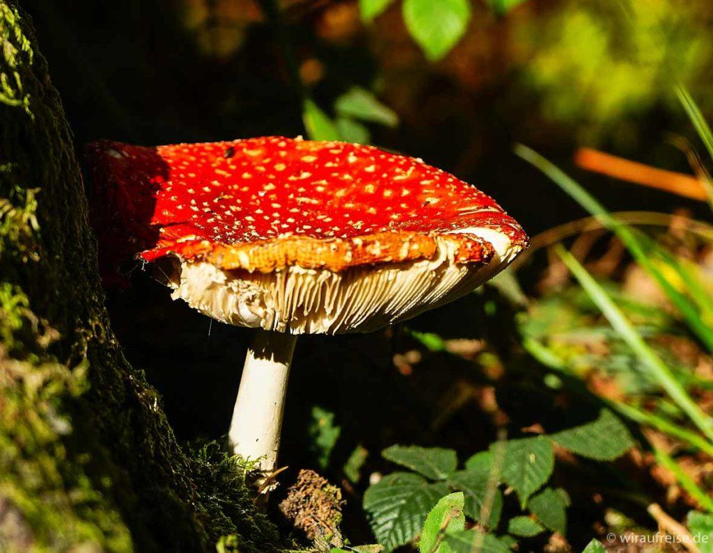roter Fliegenpilz im Wald von Grün umgeben