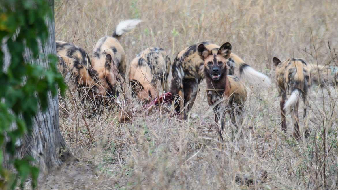Ein Rudel Wildhunde - weitere informationen unter www.wiraufreise.de