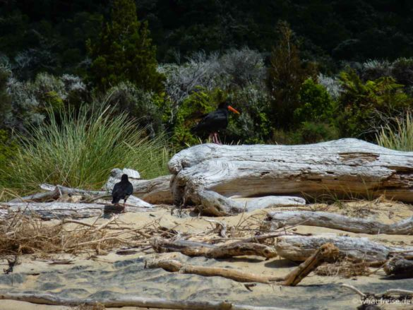 zwei vögel, oyster catchers, im abel tasman nationalpark am strand neuseeland nordinsel