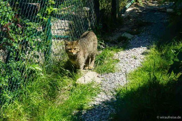 Eine Wildkatze im Gehege