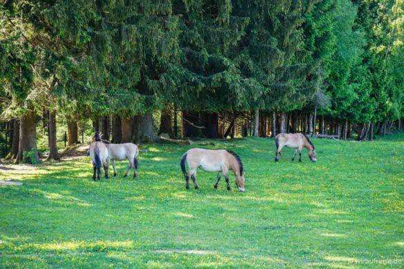 Herde Przewalski-Pferde Nationalpark Bayerischer Wald