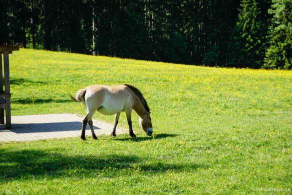 Przewalski-Pferd Nationalpark Bayerischer Wald