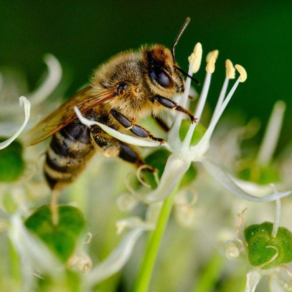 Honigbiene, die sich an den Stempeln eines Zierlauchs festhält.