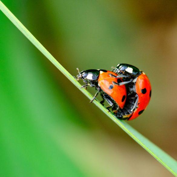 Marienkäfer in Frühlingsstimmung. Zwei Marienkäfer auf einem Blatt, die sich paaren.