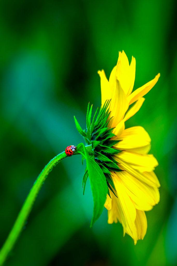 Marienkäfer auf einer gelben Sonnenblume im Profil