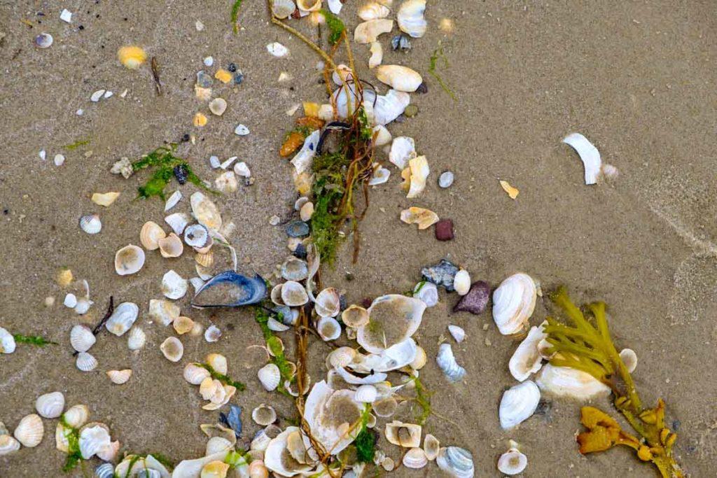 Muscheln an Usedomer Strand, wer findet einen Bernstein?